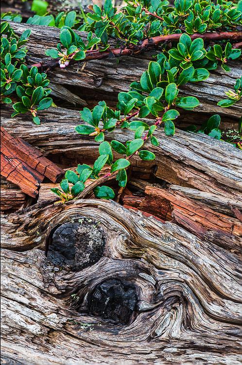 Driftwood and kinnikinnick (Arctostaphylos uva-ursi), April, overcast light, Olympic National Park, Washington, USA