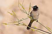 Pycnonotus xanthopygos, Yellow-vented Bulbul AKA White-Spectacled Bulbul, perched on a branch Photographed in Israel