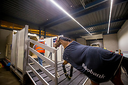 Domino, Jos Verlooy's Horse<br /> Departure of the horses to the World Cup Finals in Las Vegas from Schiphol - Amsterdam 2015.<br />  © Hippo Foto - Dirk Caremans