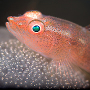 Common ghost goby (Pleurosicya mossambica) diligently guarding a precious brood of eggs on the surface of a sponge, in the muck at Lembeh Strait, North Sulawesi, Indonesia. Photographed at 3x life-size