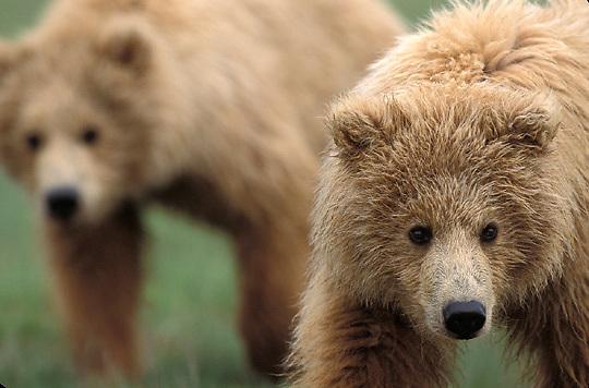 Alaskan Brown Bear, (Ursus middendorffi) Two cubs, one close up, one in distance. Alaskan Peninsula.