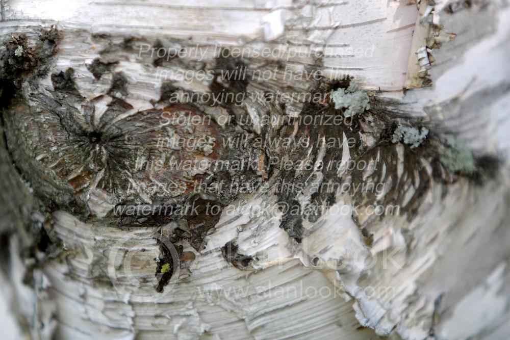 31 July 2006 shots taken on my property..White paper birch tree bark