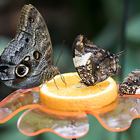 Butterfly is seen in the newly opened Butterly Garden at Zoo Budapest in Budapest, Hungary on June 6, 2019. ATTILA VOLGYI