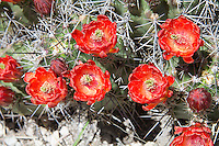"One of the most striking and beautiful of all the ""barrel"" cacti of the American Southwestern deserts, the claret cup cactus (also known regionally by many names such as the kingcup, queencup, hedgehog cactus, pitaya roja, etc.) has large, showy and brilliantly red flowers that attract and are pollinated by hummingbirds. Unlike most cacti, the flowers of the claret cup stay open at night. Some native American tribes who shared the same habitat would collect these cacti, burn off the sharp spines, and mash them into a pulp with some locally procured sweetener (honey?) and bake them into mini sweet cakes. This one was found and photographed on a beautiful spring day in the Guadalupe Mountains National Park in Northwestern Texas."