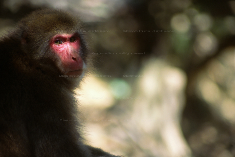 A Japanese Macaque (Macaca fascicularis) in woodland near Kyoto, Japan. September 2003
