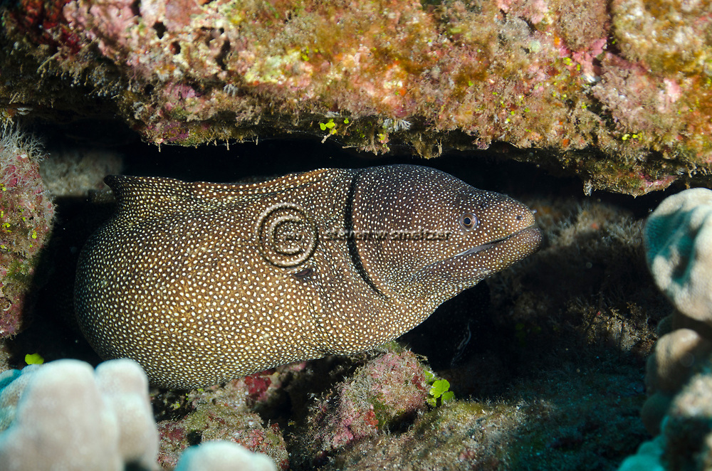Whitemouth Moray, Gymnothorax meleagris, Shaw & Nodder, 1795), Maui, Hawaii