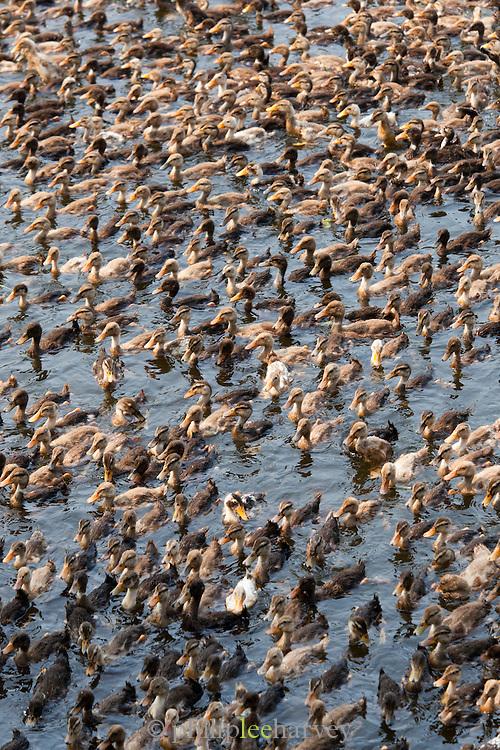 Ducks from a duck farm near Alappuzha in the Kerala Backwaters, India