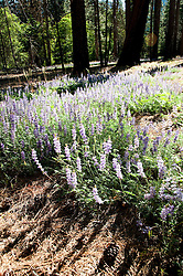 Blue Lupins, Valley floor, Yosemite Valley, Yosemite National Park, California, USA.  Photo copyright Lee Foster.  Photo # california121141
