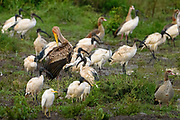 A juvenile Yellow-billed Stork preens its feathers while roosting with Sacred Ibis and Egyptian Geese