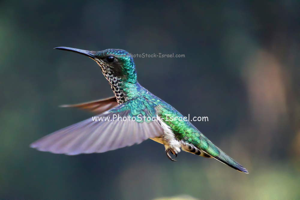 White-necked jacobin (Florisuga mellivora) hummingbird in flight.  Hummingbirds are birds in the family Trochilidae, and are native to the Americas. They hover in mid-air by rapidly flapping their wings up to 90 times per second. As they hover, they use their long bills and tongues to feed on the nectar found in flowers. Hummingbirds are unique in their ability to fly backwards. Photographed in Colombia