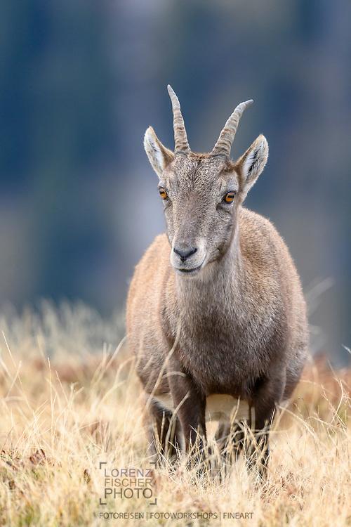 Steingeiss (Alpensteinbock, Capra ibex) auf dem Niederhorn; Interlaken, Bern, Schweiz<br /> <br /> Stone ibex of the Alpine ibex (Capra ibex) on the Niederhorn; Interlaken, Bern, Switzerland