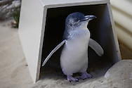 Little Blue (Fairy) Penguin. One of the rescue penguins at Penguin Island, Rockingham, West Australia
