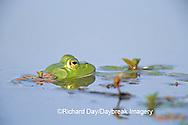 02471-003.07 Bullfrog (Rana catesbeiana) in wetland Marion Co. IL