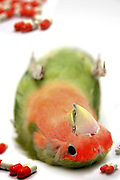 Cutout of a dead parrot on white background medical drugs are in view concept of overdose