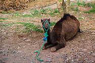 06-10-2015 -  Foto van Dromedaris bij De stad van Marrakech in Marrakech, Marokko.