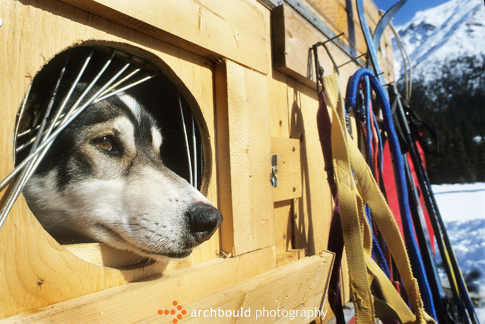 Sled dog, Yukon