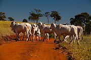 Uniao de Minas_MG, Brasil...Gado pastando em uma paisagem rural em Uniao de Minas, Minas Gerais...The cattle grazing in the rural landscape in Uniao de Minas, Minas Gerais...Foto: LEO DRUMOND / NITRO