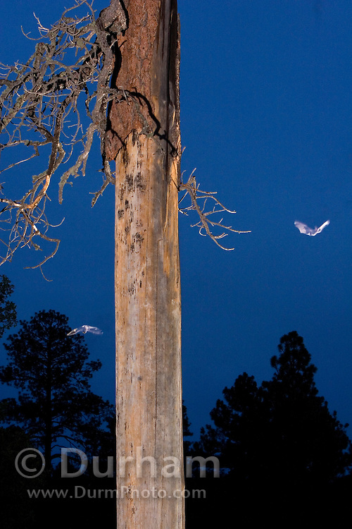 Rare allen's lappet-browed  bat (Idionycteris phyllotis) emerge from under loose bark on a dead ponderosa tree snag at dusk. Kaibab National Forest, Arizona. This is a digital composite of two different bats emerging from the same tree.