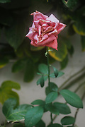 rose bush with Wilted dying pink garden rose