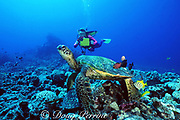 diver and green sea turtle, Chelonia mydas, being cleaned by gold-ring surgeonfish, Ctenochaetus strigosus, and other herbivorous fish, Turtle Pinnacles, Kona, Big Island, Hawaii ( Pacific ) MR 266