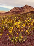 Desert Sunflowers at Sunrise, Kingston Range Wilderness, California