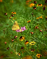 Orange Sulfur Butterfly (Colias eurytheme). Image taken with a Nikon D5 camera and 80-400 mm VRII lens