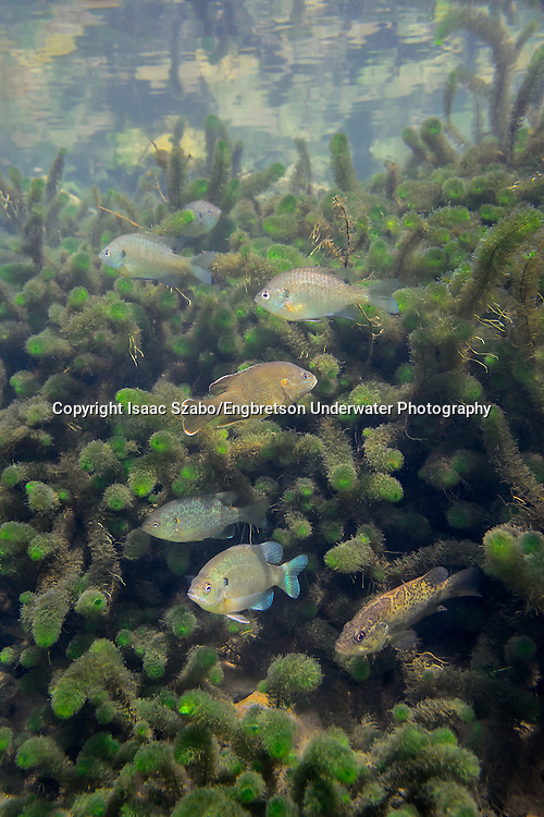 Bluegill (with various other sunfish)<br /> <br /> Isaac Szabo/Engbretson Underwater Photography