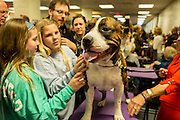 New York, NY - 16 February 2016. Louie, an American Staffordshire terrier, with admirers in the benching area of the 140th Westminster Kennel Club Dog show in Madison Square Garden.