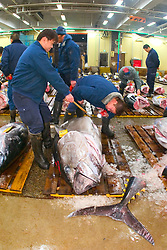 intermediate buyers, checking quality of raw bluefin tunas, Thunnus sp., getting set for auction, Tsukiji Fish Market or Tokyo Metropolitan Central Wholesale Market, the world's largest fish market, hadling over 2, 500 tons and over 400 different kind of fresh sea food per day, Tokyo, Japan