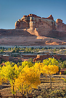 Cottonwood trees displaying brilliant autumn foliage in Squaw Canyon, Canyonlands National Park Utah USA