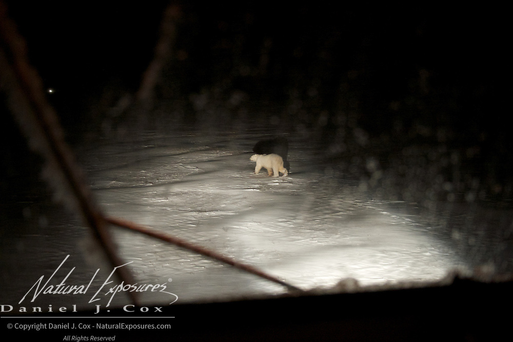 A polar bear emerges from out of the night in the headlights of a Tundra Buggy.