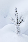 Frosty tree during winter at Mud Volcano Thermal Area in Yellowstone