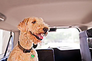 A goldendoodle dog sitting in the back seat of an automobile. WATERMARKS WILL NOT APPEAR ON PRINTS OR LICENSED IMAGES.