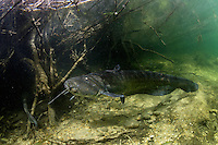 Wels - Silure glane - Wels catfish (Silurus glanis)<br /> Laichregion, Rio Ebro, Spanien<br /> Période de fraye, Ebre, Espagne<br /> Spawning period, Rio Ebro, Spain<br /> CANON EOS 5D EF15/2.8<br /> 16-05-2007
