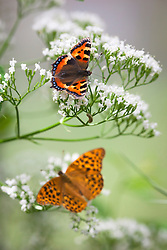 Butterflies on wild valerian. Top to bottom: Comma (Polygonia c-album)and male Silver washed fritillary (Argynnis paphia)