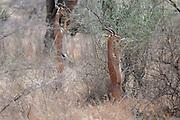 Kenya, Samburu National Reserve, Kenya, Gerenuk (Litocranius walleri), AKA Giraffe Gazelle munching leaves from a tree