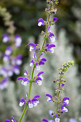 Salvia 'Madeline'. Perennial sage