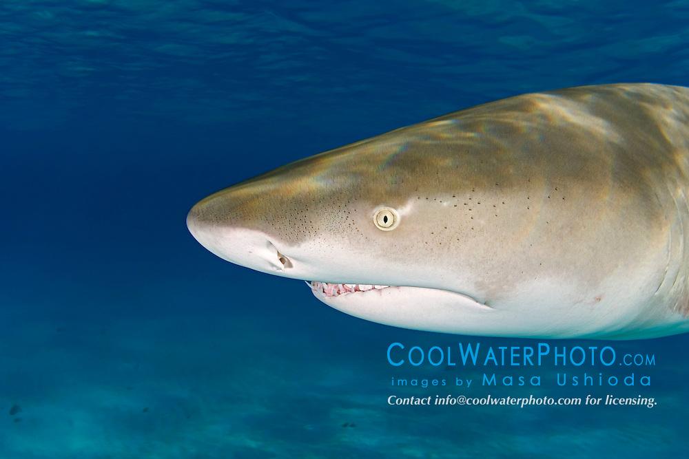 Lemon Shark, Negaprion brevirostris, showing Ampullae of Lorenzini, nostrils, eye, and teeth, West End, Grand Bahama, Atlantic Ocean