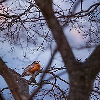 An American Robin (Turdus migratorius) enjoys a quiet spring evening.