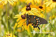 03004-01601 Pipevine Swallowtail (Battus philenor) on Black-eyed Susans (Rudbeckia hirta) Marion Co. IL