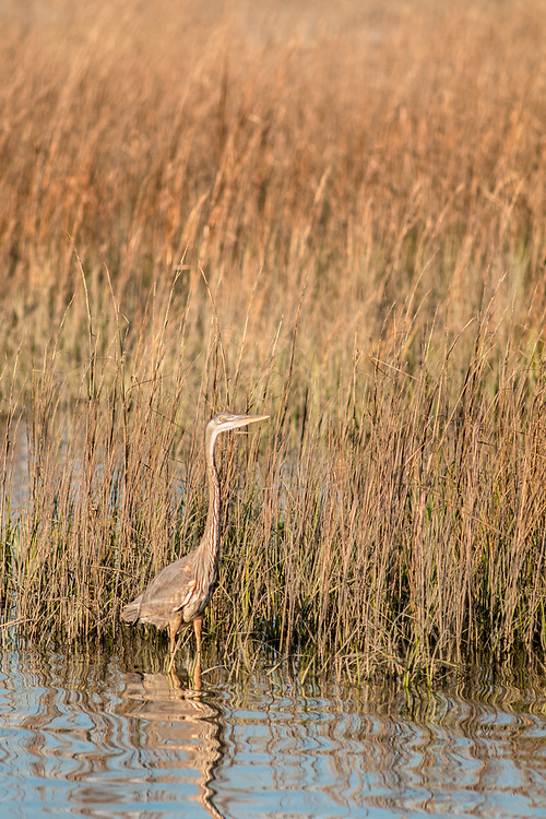 A blue heron stands in the shallow saltwater marsh waters at Huntington Beach State Park in Murrells Inlet, SC on Wednesday, March 8, 2017. Copyright 2017 Jason Barnette