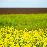 Yellow wildflowers grow in an otherwise lush green field in the countryside of Belgium.