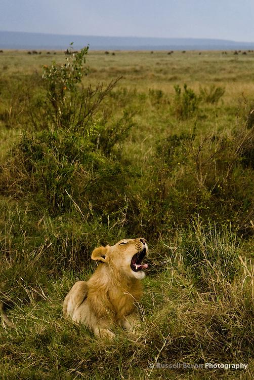 A yawning juvenile male lion waking up in the Masai Mara National Park, Kenya