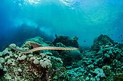 Chinese Sea Snake (Laticauda semifasciata)<br /> Gili Manuk Island<br /> Banda Sea<br /> Indonesia