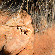 Dragon lizard resting on a rock at Kings Canyon