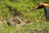 European Ground Squirrel, Spermophilus citellus, chased by a Bee-eater, Merops apiaster, Europaeischer Ziesel und Bienenfresser, near Nikopol, Bulgaria