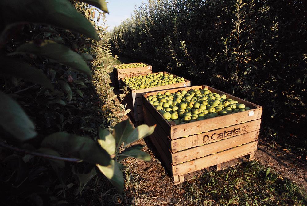 Apple harvest in Alfaro, Rioja, Spain.