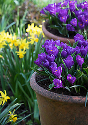 Crocus 'Flower Record' in long tom terracotta pots with Narcissus 'February Gold' in the background