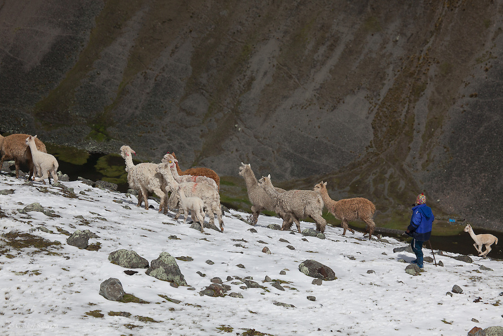 Boy herding alpaca at around 4500 meters in elevation in the Andes. Tour of projects on the Interoceanica SUR in the Andean region near Cusco. The projects are supported by Interoceanica SUR (iSUR), an organization that seeks to promote conservation efforts around the new Interoceanic Highway that streteches across Peru and Brazil.