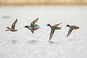 Greenwing Teal Courtship Flight